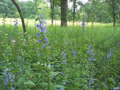 Campanula americana L. (Tall bellflower), wildflowers in a woodland savanna