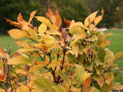 Calycanthus floridus L. (Carolina-allspice), branches, leaves