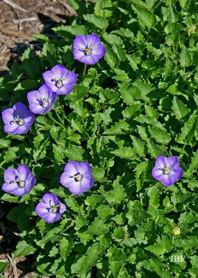 Campanula 'Samantha' (Samantha bellflower), flowers