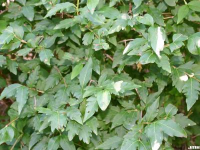Abelia biflora Turcz. (twinflower abelia), leaves and branches