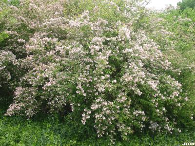 Kolkwitzia amabilis Graebn. (beauty bush), growth habit, shrub form, inflorescence