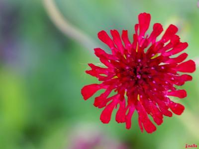 Knautia macedonica Griseb. (Macedonian scabiosa), close-up flower
