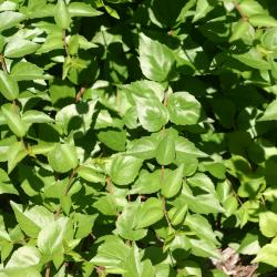 Abelia chinensis R. Br. (Chinese abelia), leaves