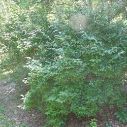 Abelia biflora Turcz. (twinflower abelia), shrub form, growth habit