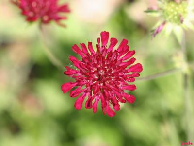 Knautia macedonica Griseb. (Macedonian scabiosa), close-up of flower