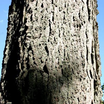 Celtis occidentalis L. (hackberry), bark
