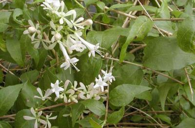 Abelia chinensis R. Br. (Chinese abelia), flowers