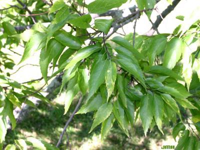 Celtis laevigata Willd. (sugarberry), leaves