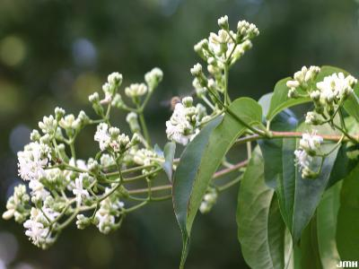 Heptacodium miconioides Rehd. (seven-son flower), inflorescence
