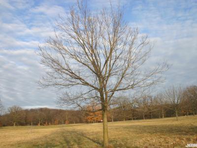 Celtis occidentalis 'Prairie Pride' (Prairie Pride hackberry), winter form