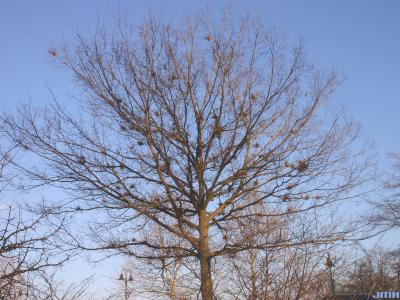 Celtis occidentalis 'Windy City' (Windy City hackberry), winter tree form with witches' brooms on branches