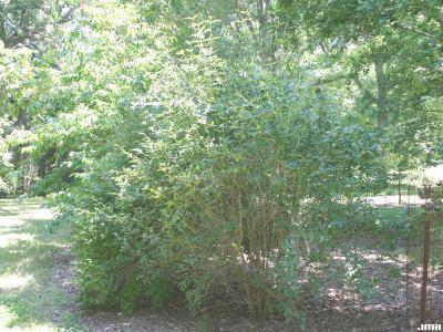 Abelia biflora Turcz. (twinflower abelia), shrub form , growth habit