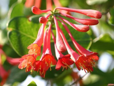 Lonicera sempervirens L. (trumpet honeysuckle), close-up of flowers