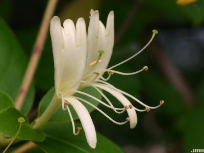 Lonicera x heckrottii Rehd. (goldflame honeysuckle) macro close-up of flowers