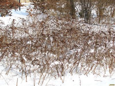 Symphoricarpos orbiculatus Moench (coralberry), habit, shrub form