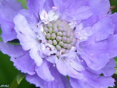 Scabiosa caucasica 'Fama' (fama caucasus scabiosa), macro close-up of flower