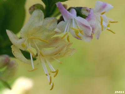 Lonicera fragrantissima Lindl. & Paxt. (winter honeysuckle), close-up of flower