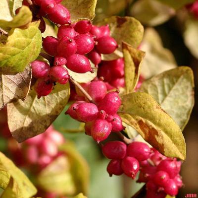 Symphoricarpos orbiculatus Moench (coralberry), close-up of fruit