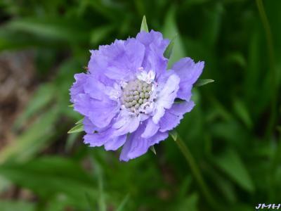 Scabiosa caucasica 'Fama' (fama caucasus scabiosa), close-up of flower