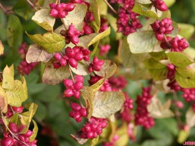 Symphoricarpos orbiculatus Moench (coralberry), close-up of fruit and leaves