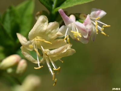 Lonicera fragrantissima Lindl. & Paxt. (winter honeysuckle), close-up of flowers showing stamen