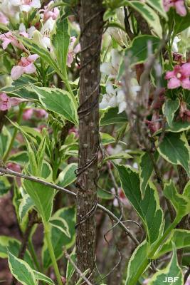 Weigela florida 'Variegata' (Variegated old-fashioned weigela), bark