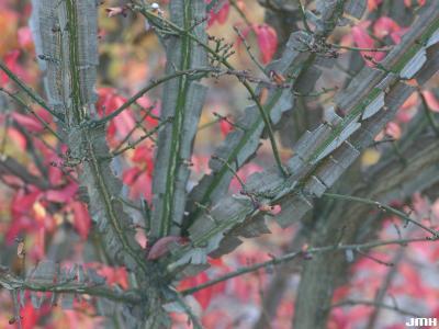 Euonymus alatus (Thunb.) Sieb. (burning bush), close-up of winged branches