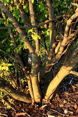 Euonymus alatus 'Compactus' (burning bush), growth habit, shrub form, bark
