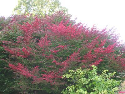 Euonymus alatus 'Compactus' (burning bush), growth habit, shrub form