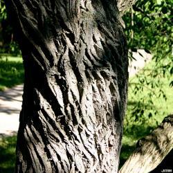 Euonymus bungeanus Maxim. (Manchurian spindle tree), bark
