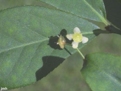 Euonymus alatus (Thunb.) Sieb. (burning bush), flower