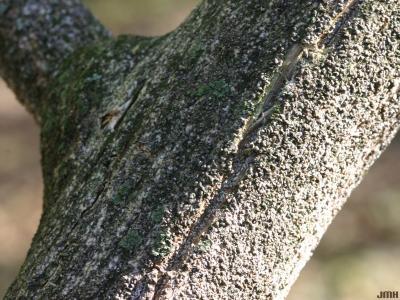 Euonymus atropurpureus Jacq. (wahoo), bark