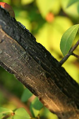 Euonymus alatus 'Compactus' (burning bush), bark