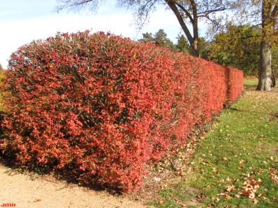Euonymus alatus (Thunb.) Sieb. (burning bush), shrubs along the Hedge Garden (removed), fall color