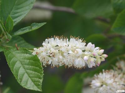 Clethra alnifolia L. (summersweet clethra), close-up of inflorescence and leaves