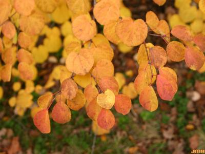 Cercidiphyllum japonicum Sieb. & Zucc. (katsura tree), leaves, fall color