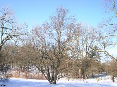 Cercidiphyllum japonicum Sieb. & Zucc. (katsura tree), winter tree form, snow on ground