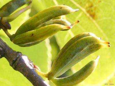 Cercidiphyllum japonicum Sieb. & Zucc. (katsura tree), fruit