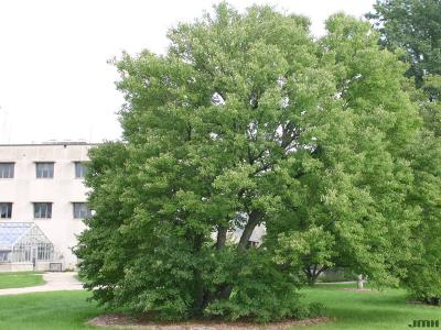 Cercidiphyllum japonicum Sieb. & Zucc. (katsura tree), tree form