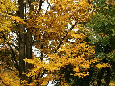 Cercidiphyllum japonicum Sieb. & Zucc. (katsura tree), habit, fall color