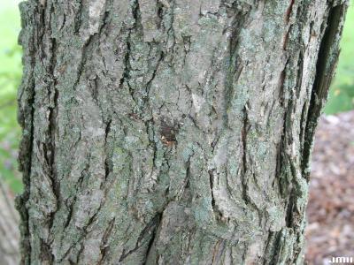 Cercidiphyllum japonicum Sieb. & Zucc. (katsura tree), bark