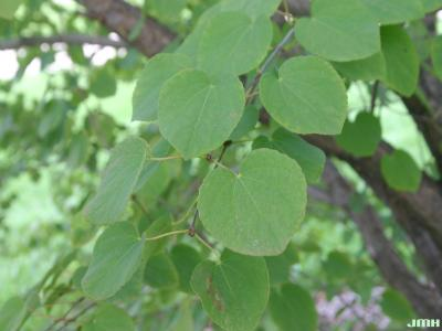 Cercidiphyllum japonicum Sieb. & Zucc. (katsura tree), leaves