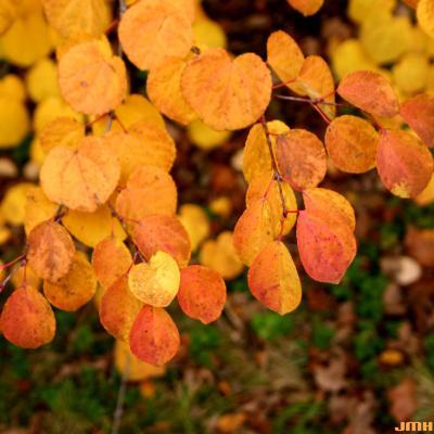 Cercidiphyllum japonicum Sieb. & Zucc. (katsura tree) leaves, fall color