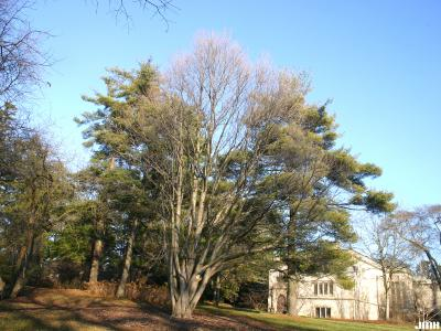 Cercidiphyllum japonicum Sieb. & Zucc. (katsura tree), winter tree form