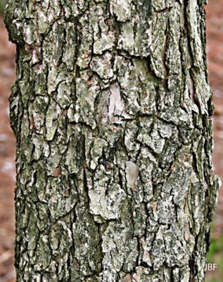 Cornus florida L. (flowering dogwood), bark