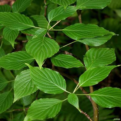 Cornus alternifolia L. f. (pagoda dogwood), close-up of leaves