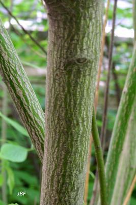 Cornus alternifolia L. f. (pagoda dogwood), bark