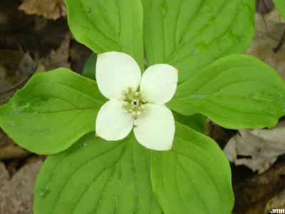 Cornus canadensis L. (bunchberry), wildflower ground cover, flowers, bracts, and leaves