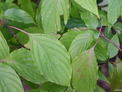 Cornus alternifolia L. f. (pagoda dogwood), leaves