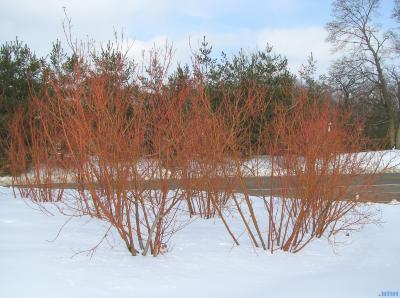 Cornus sericea ssp. sericea 'Cardinal' (Cardinal red-osier dogwood), plant form,  plant habit
